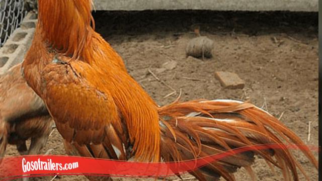 Cara Nomor Satu Tumbuhkan Bulu Ayam SV388