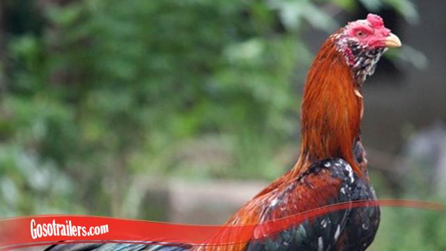 Fakta Keunikan Ayam Brewok S128