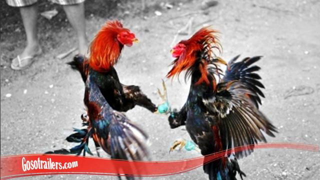 Jurus Bongkar Dari Ayam Bangkok