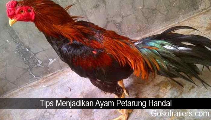 Tips Menjadikan Ayam Petarung Handal