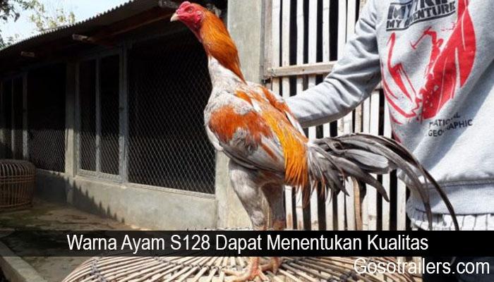 Warna Ayam S128 Dapat Menentukan Kualitas