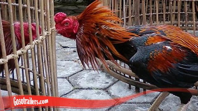 Langka Untuk Mengetahui Ayam Bangkok Super